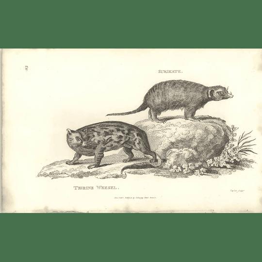 1800 Surikate And Tigrine Weasel Shaw Engraved Mammal Print