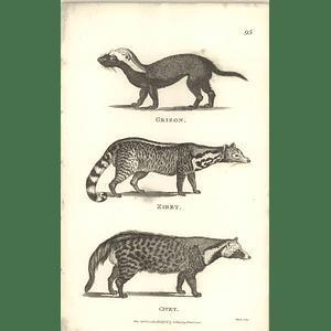 1800 Grison, Zibet And Civet Shaw Engraved Mammal Print