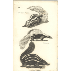 1800 Triated Weasel And Chinche Shaw Engraved Mammal Print