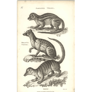 1800 Faschiated Weasel, Malacca Weasel And Zenic Shaw Engraved Mammal Print