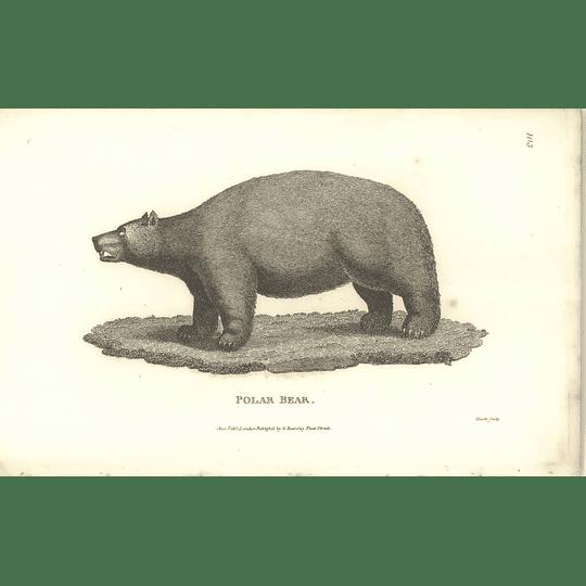 1800 Polar Bear Shaw Engraved Mammal Print