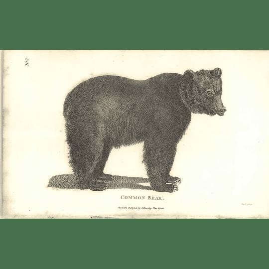1800 Common Bear Shaw Engraved Mammal Print