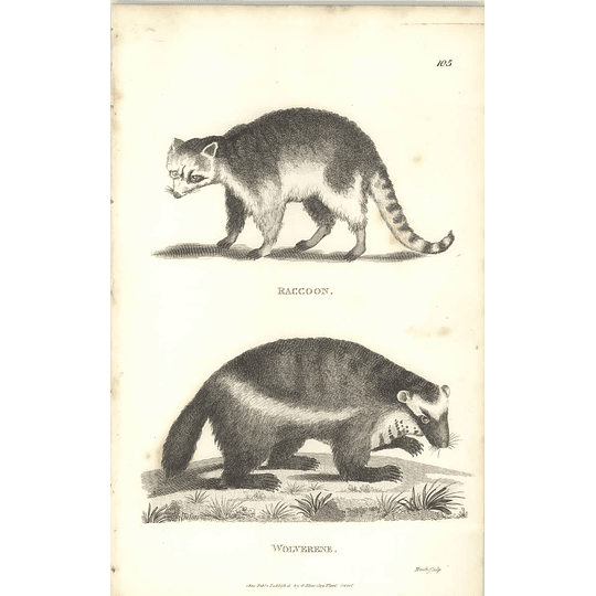 1800 Raccoon And Wolverine Shaw Engraved Mammal Print