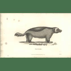 1800 Glutton Shaw Engraved Mammal Print