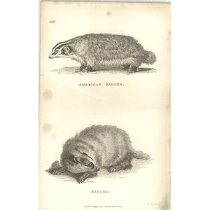 1800 American Badger And Common Badger Shaw Engraved Mammal Print