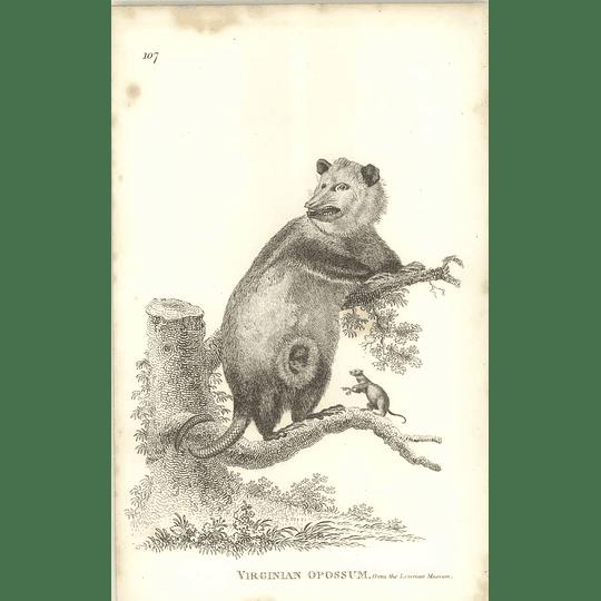 1800 Virginian Opossum Shaw Engraved Mammal Print