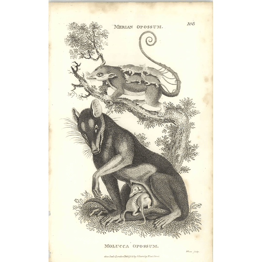 1800 Merian Opossum And Molucca Opossum Shaw Engraved Mammal Print