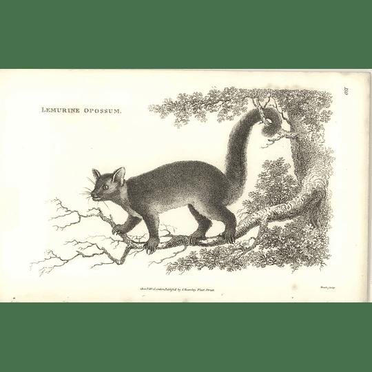 1800 Lemurine Opossum Shaw Engraved Mammal Print