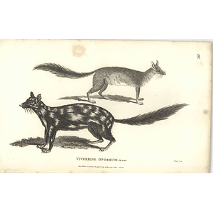 1800 Viverrine Opossum Shaw Engraved Mammal Print