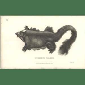 1800 Petaurine Opossum Shaw Engraved Mammal Print