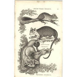 1800 Brush Tailed Opossum, Longtailed Opossum, Squirrel Opossum Shaw Engraved Mammal Print