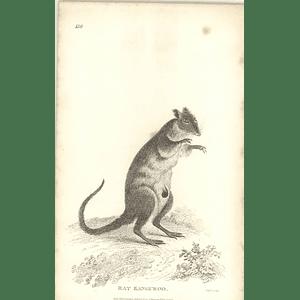 1800 Rat Kangaroo Shaw Engraved Mammal Print