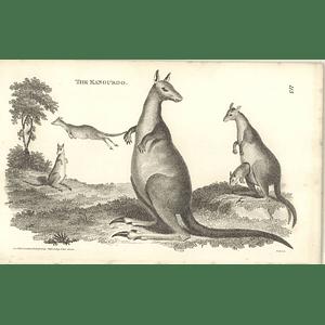 1800 The Kangaroo Shaw Engraved Mammal Print
