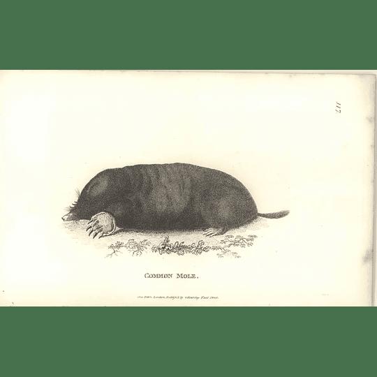 1800 Common Mole Shaw Engraved Mammal Print