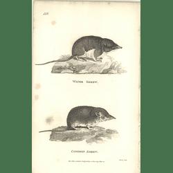 1800 Water Shrew And Common Shrew Shaw Engraved Mammal Print