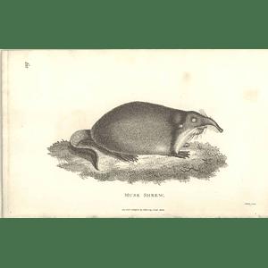 1800 Musk Shrew Shaw Engraved Mammal Print
