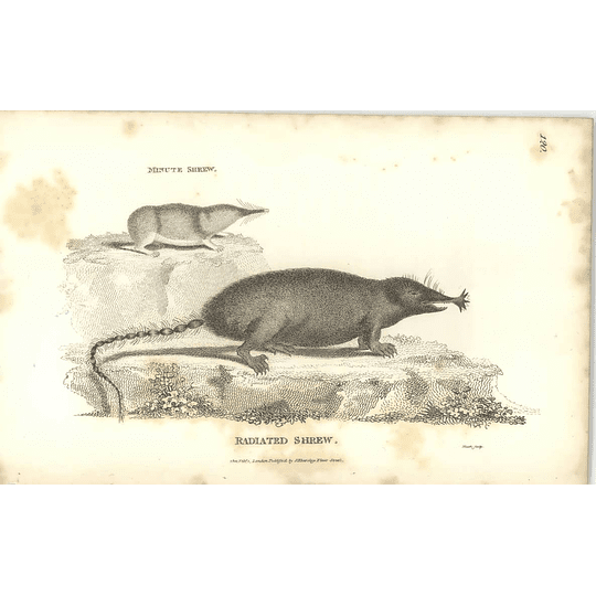 1800 Radiated Shrew And Minute Shrew Shaw Engraved Mammal Print