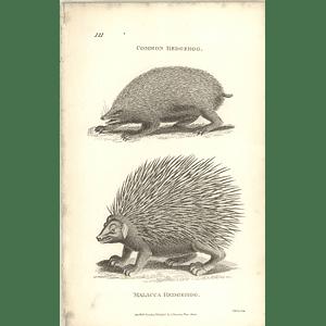 1800 Common Hedgehog And Malacca Hedgehog Shaw Engraved Mammal Print