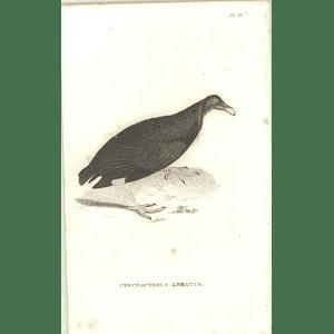 1825 Percnopterus Atratus - Black Vulture Bird Print  George Shaw