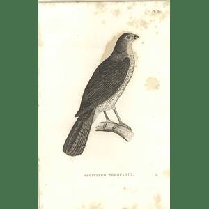 1825 Accipiter Torquatus  - Collared Sparrow Hawk Bird Print  George Shaw