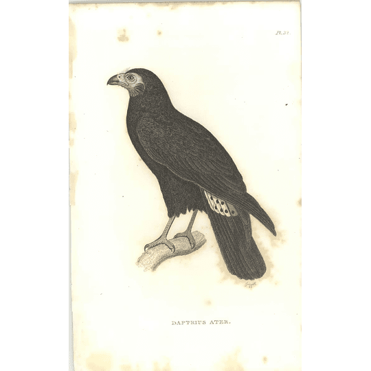 1825 Daptrius Ater -  Black Caracara Bird Print  George Shaw