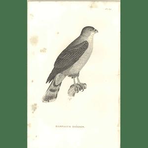 1825 Harpagus Diodon -  Rufous-thighed Kite Bird Print  George Shaw