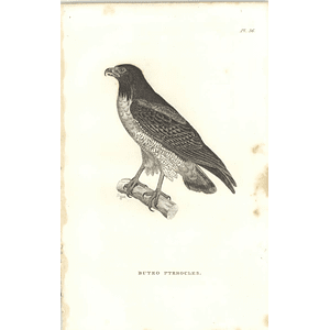 1825 Buteo Pterocles - White-tailed Hawk? Bird Print  George Shaw