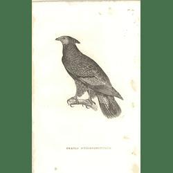 1825 Pernis Ptilonorynchus - Crested Honey Buzzard Bird Print  George Shaw