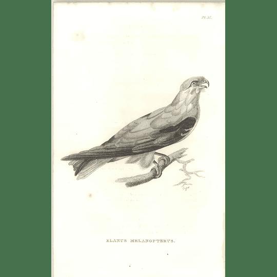 1825 Elanus Melanopterus - Black-winged Kite Bird Print  George Shaw