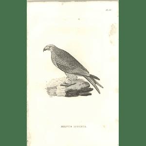 1825 Milvus Ictinus -  European kite  Bird Print  George Shaw