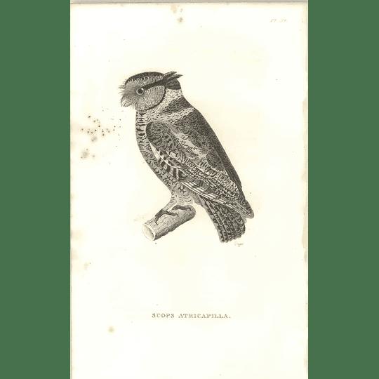 1825 Scops Atricapilla - Screech Owl Bird Print  George Shaw