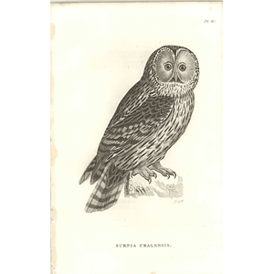 1825 Surnia Uralensis - Ural Owl Bird Print  George Shaw