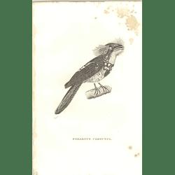 1825 Podargus Cornutus Bird Print  George Shaw