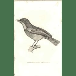1825 Platyrhynchus Olivaceus - Ceylonese Flat-bill Bird Print  George Shaw