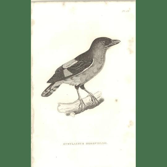 1825 Eurylaimus Horsfieldii - Broadbill Bird Print  George Shaw