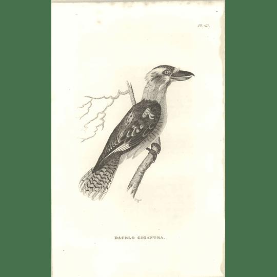 1825 Dacelo Gigantea -  Great Brown Kingfisher Bird Print  George Shaw