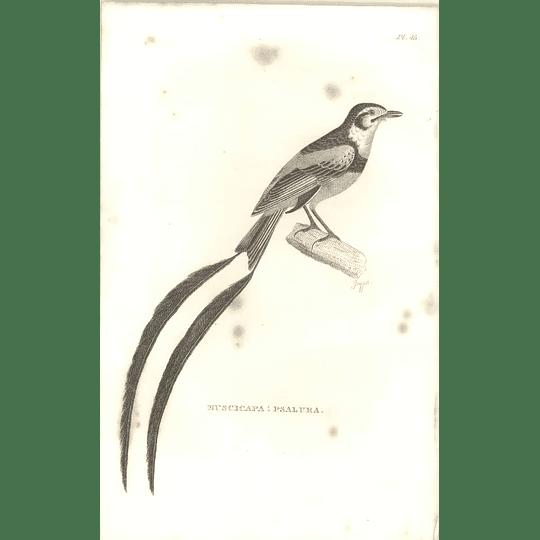 1825 Muscicapa Psalura Bird Print  George Shaw