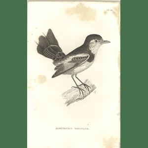 1825 Alectrurus Tricolor -  Cock-tailed Tyrant  Bird Print  George Shaw