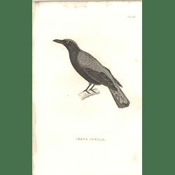 1825 Irena Puella - Asian Fairy-bluebird Bird Print  George Shaw