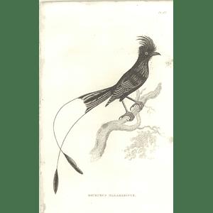 1825 Dicrurus Malabaricus - Drongo Bird Print  George Shaw