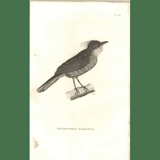1825 Tricophorus Barbatus Bird Print  George Shaw