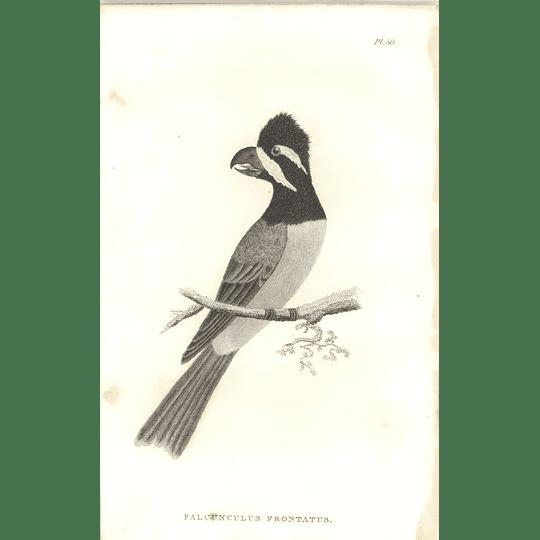 1825 Falcunculus Frontatus -  Crested Shriketit Bird Print  George Shaw
