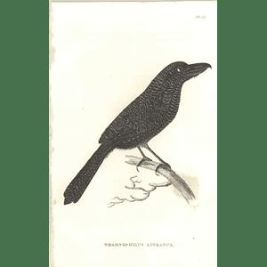 1825 Thamnophilus Lineatus - Antshrike Bird Print  George Shaw