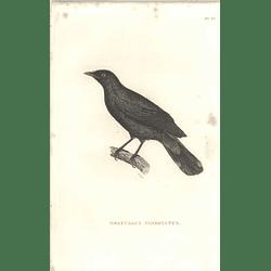 1825 Graucalus Fimbriatus Bird Print  George Shaw