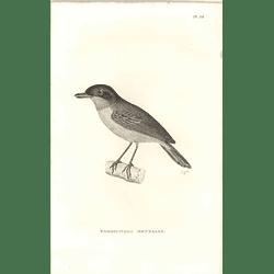 1825 Formicivora Mentalis Bird Print  George Shaw