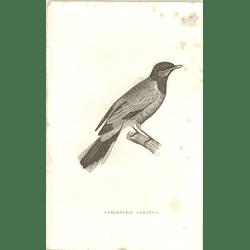 1825 Ceblepyris Lobatus Bird Print  George Shaw