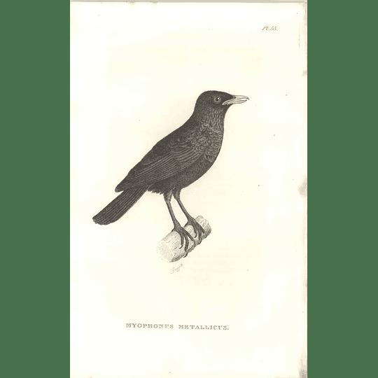 1825 Myophonus Metallicus - Whistling Thrush Bird Print  George Shaw