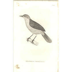 1825 Hylophilus Thoracicus - Lemon-chested Greenlet Bird Print  George Shaw