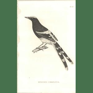 1825 Enicurus Coronatus Bird Print  George Shaw