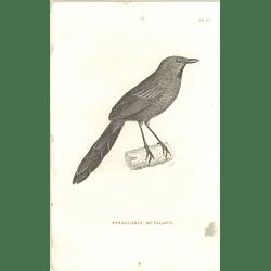 1825 Synallaxis Rutilans -  Ruddy Spinetail Bird Print  George Shaw